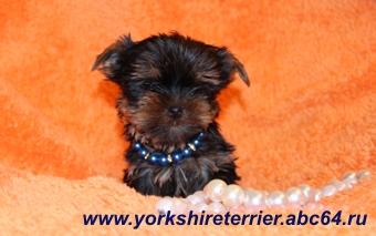 Купить щенка Йоркширского терьера с документами